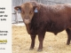 red-angus-bull-for-sale-2502_8279