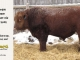 red-angus-bull-for-sale-2502_8280