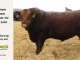 red-angus-bull-for-sale-2508_8183