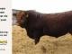 red-angus-bull-for-sale-2508_8184