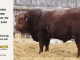 red-angus-bull-for-sale-2508_8192