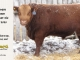 red-angus-bull-for-sale-2525_8245
