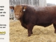 red-angus-bull-for-sale-2526_8179