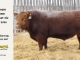 red-angus-bull-for-sale-2526_8180