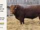 red-angus-bull-for-sale-2526_8181