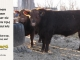 red-angus-bull-for-sale-2538_2495_8621