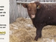 red-angus-bull-for-sale-2538_8249