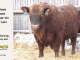 red-angus-bull-for-sale-2539_8246