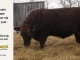 red-angus-bull-for-sale-2539_8250