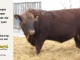red-angus-bull-for-sale-2539_8251