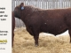 red-angus-bull-for-sale-2539_8254