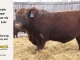 red-angus-bull-for-sale-2539_8255