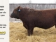 red-angus-bull-for-sale-2539_8256