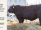 red-angus-bull-for-sale-2539_8623