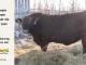 red-angus-bull-for-sale-2539_8625