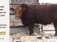 red-angus-bull-for-sale-2540_8239