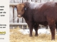 red-angus-bull-for-sale-2545_8185