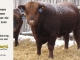 red-angus-bull-for-sale-2545_8186