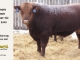 red-angus-bull-for-sale-2545_8188