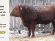 red-angus-bull-for-sale-2548_8274