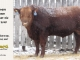 red-angus-bull-for-sale-2548_8275