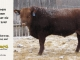 red-angus-bull-for-sale-2548_8278