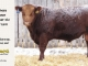 red-angus-bull-for-sale-2549_8216