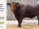 red-angus-bull-for-sale-2549_8218