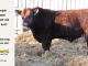 red-angus-bull-for-sale-2559_8638