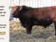 red-angus-bull-for-sale-2559_8640