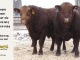 red-angus-bull-for-sale-2560_2491_8258