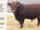 red-angus-bull-for-sale-2560_8234