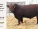 red-angus-bull-for-sale-2560_8236