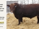 red-angus-bull-for-sale-2560_8241