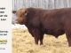 red-angus-bull-for-sale-2563_8224