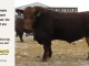 red-angus-bull-for-sale-895_8191