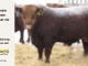 red-angus-bull-for-sale-----_8178