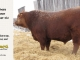 red-angus-bull-for-sale-----_8189