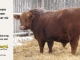 red-angus-bull-for-sale-----_8226