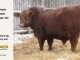 red-angus-bull-for-sale-----_8227
