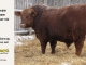 red-angus-bull-for-sale-----_8228