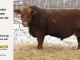 red-angus-bull-for-sale-----_8229