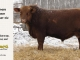 red-angus-bull-for-sale-----_8230