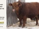 red-angus-bull-for-sale-----_8257