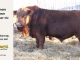 red-angus-bull-for-sale-----_8624