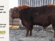 red-angus-bull-for-sale-----_8626