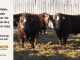 super-baldie-bull-for-sale-red-angus-simmental-fleckvieh-hybrid-2143_2237_8747