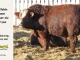super-baldie-bull-for-sale-red-angus-simmental-fleckvieh-hybrid-2143_8726