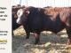 super-baldie-bull-for-sale-red-angus-simmental-fleckvieh-hybrid-2143_8744