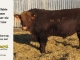 super-baldie-bull-for-sale-red-angus-simmental-fleckvieh-hybrid-2145_8722